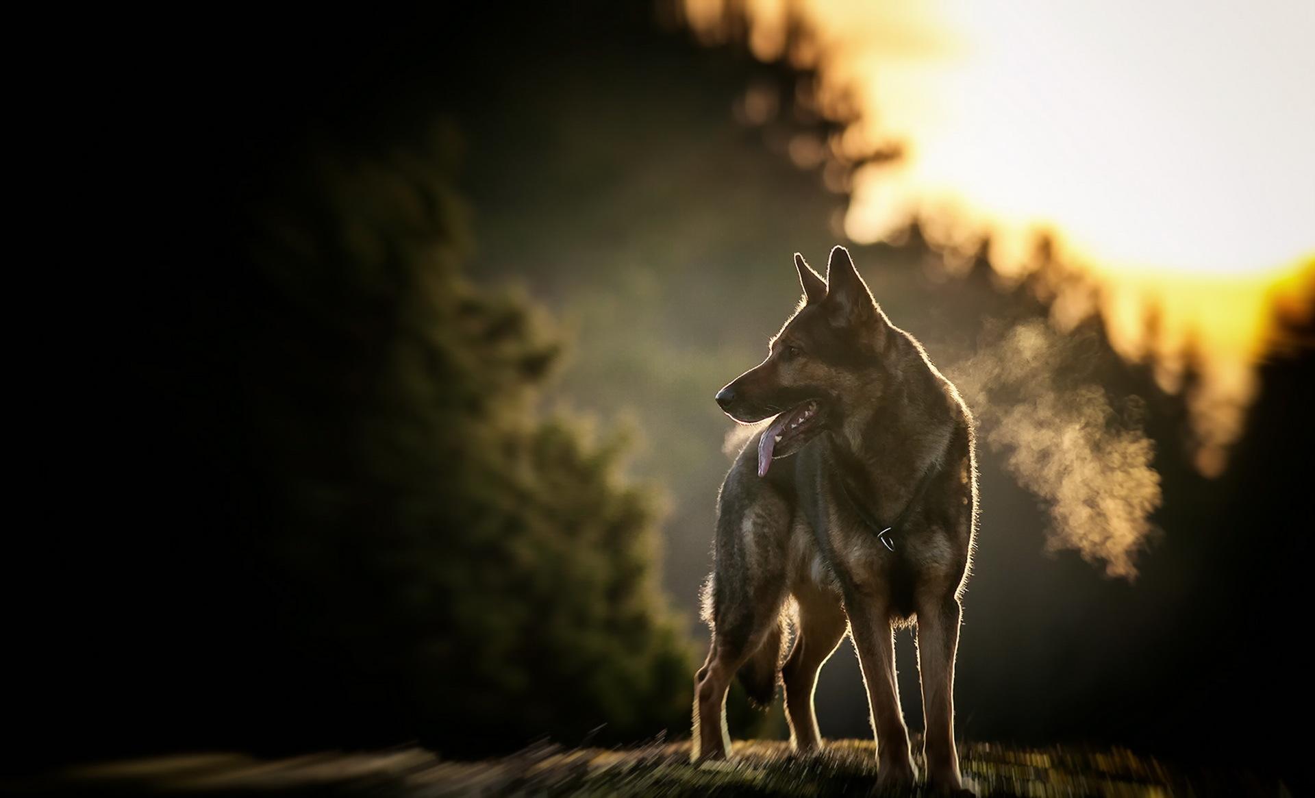 Собака на фоне заката  № 2038692 без смс