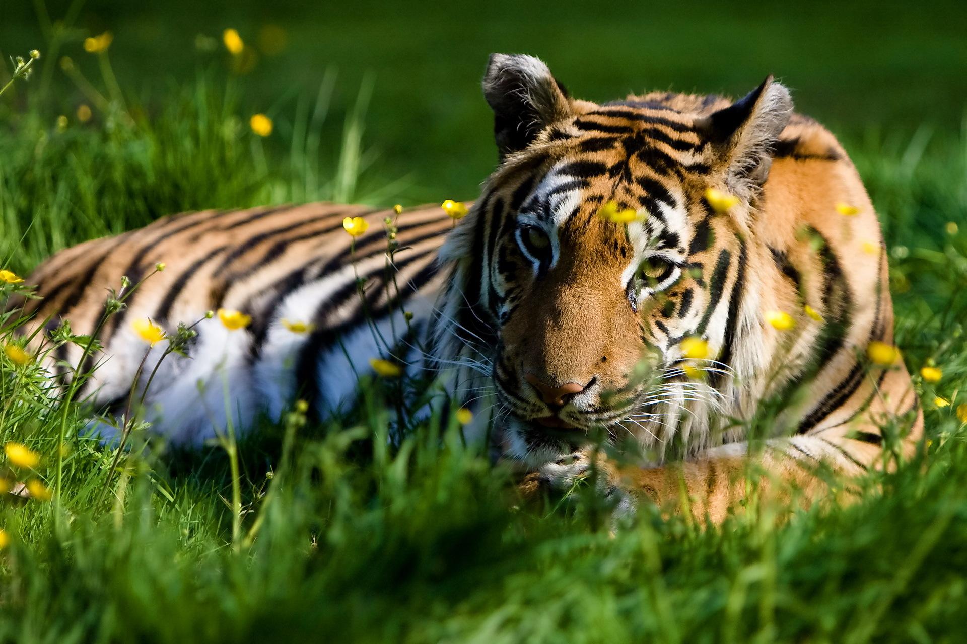 тигры трава природа  № 2011180 бесплатно
