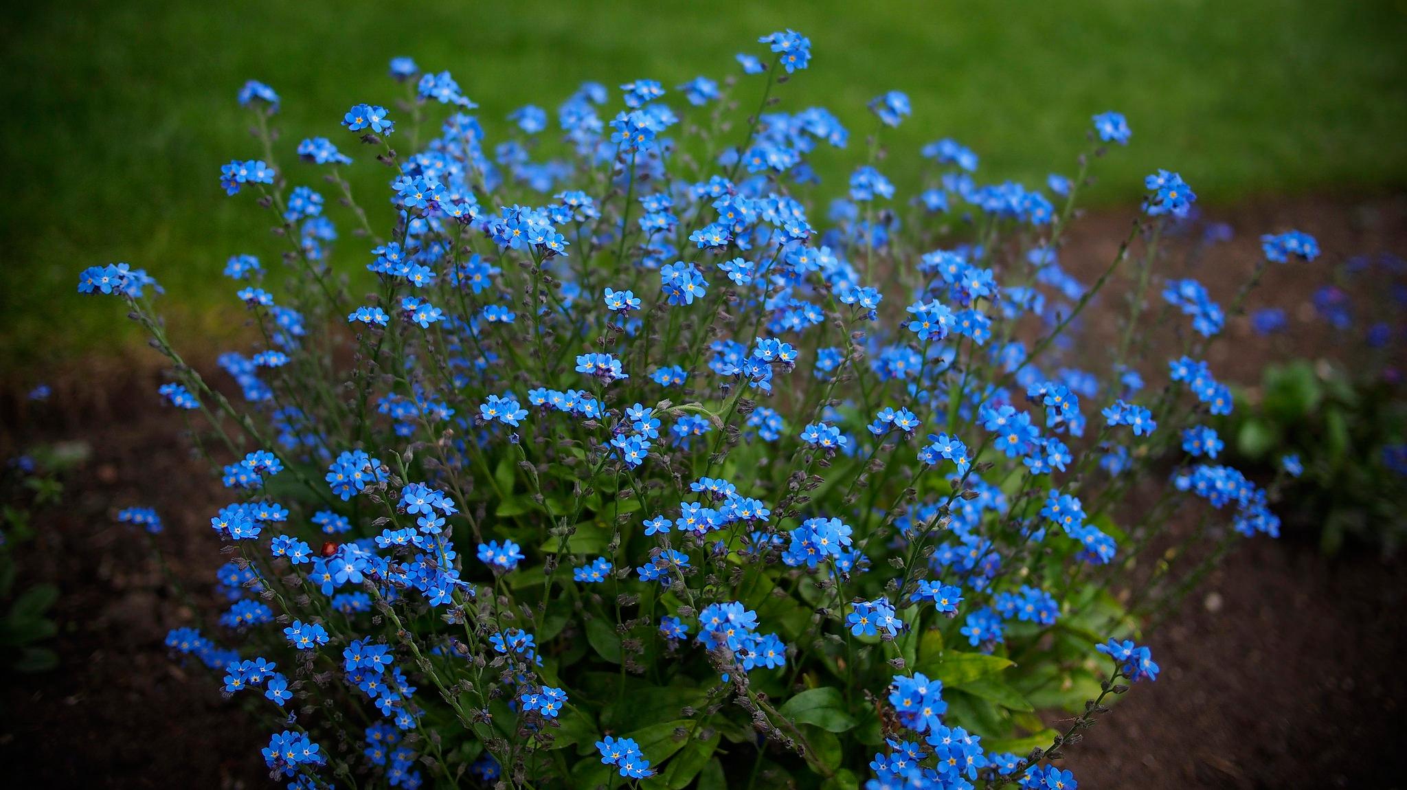 Цветы голубые незабудки  № 1334061  скачать