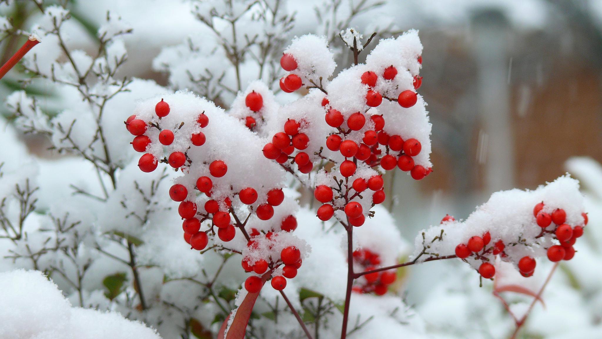 природа мороз рябина зима ветки еда ягоды  № 457108 загрузить