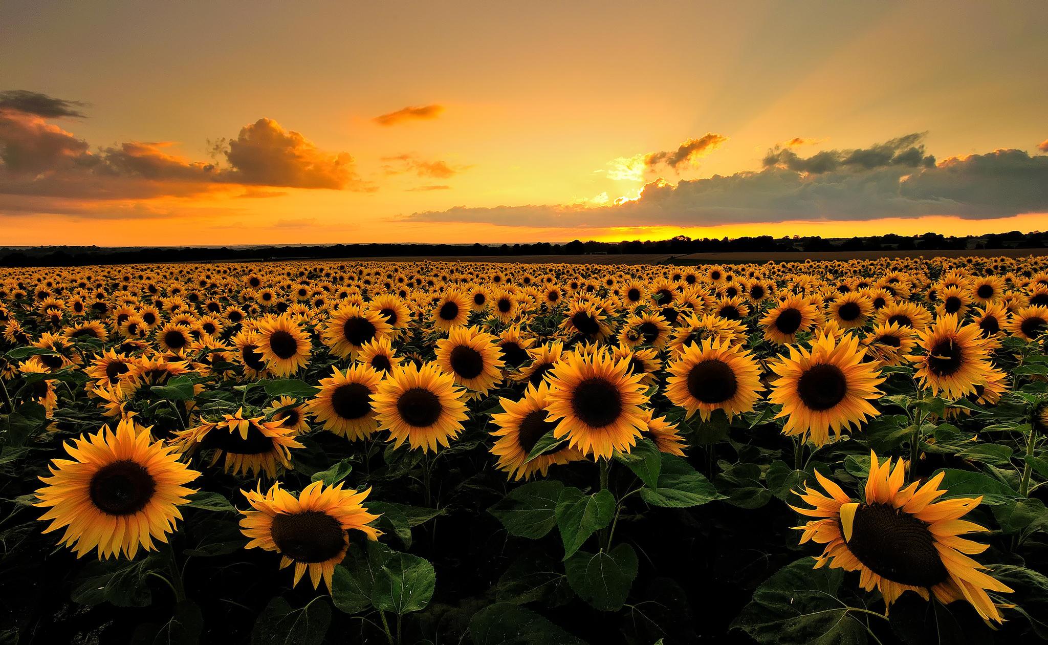 природа подсолнечник цветы nature sunflower flowers  № 2672050 загрузить