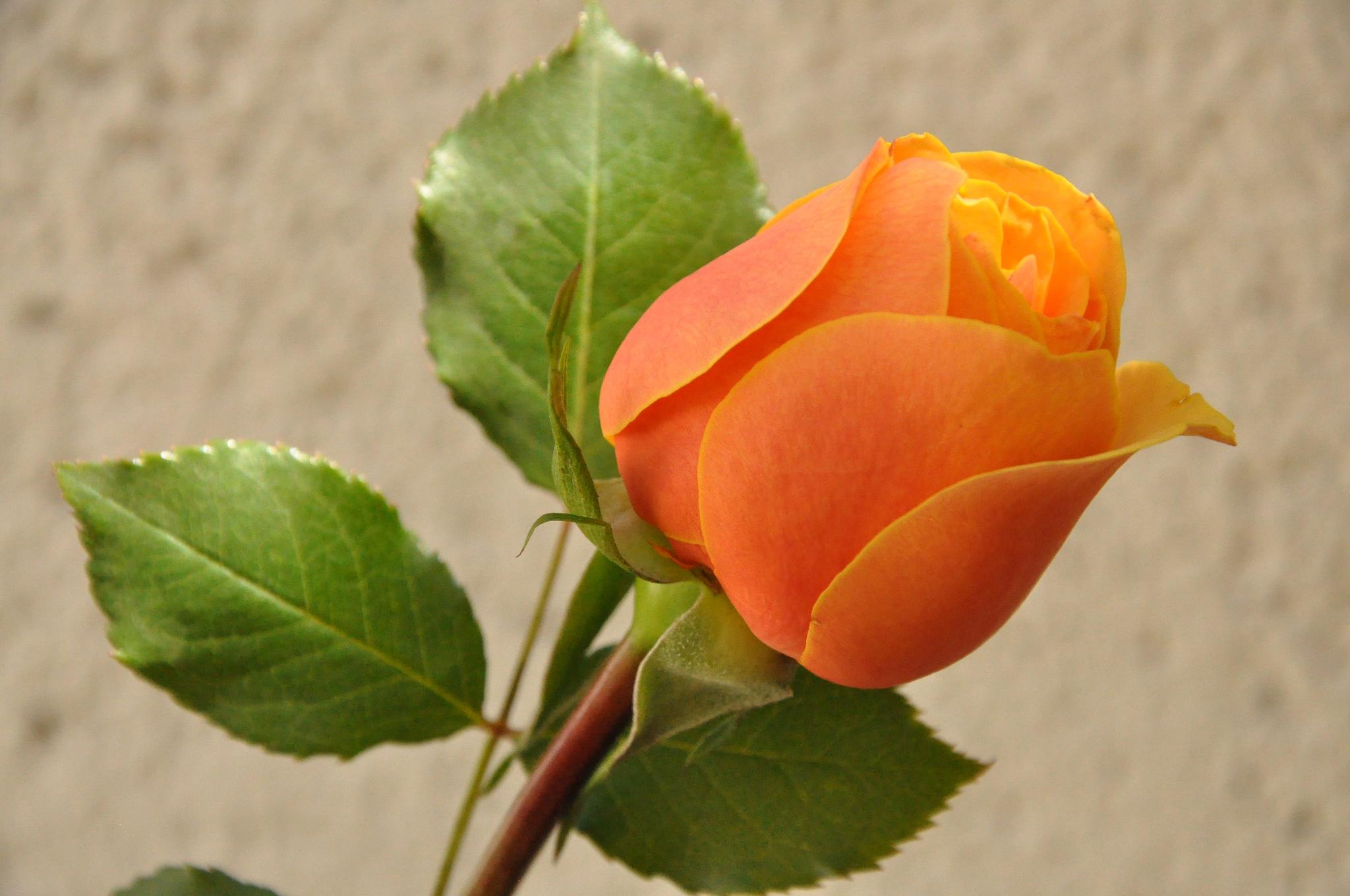 роза,лепестки,листья  № 705629 без смс