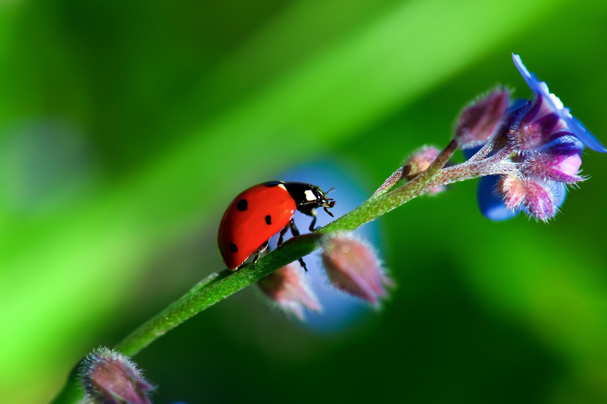 природа насекомое божья коровка цветок  № 3008119 без смс