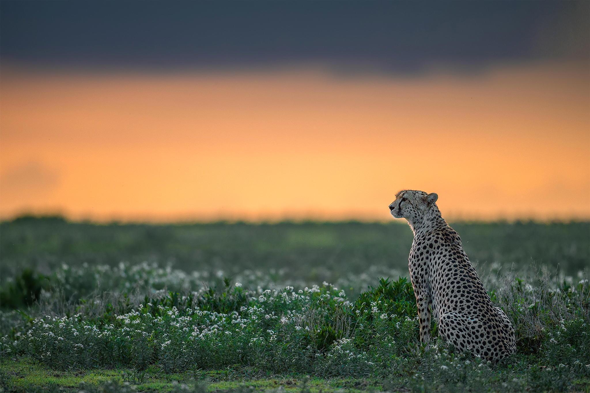 природа животные Гепарды камни трава дерево горизонт  № 276688  скачать