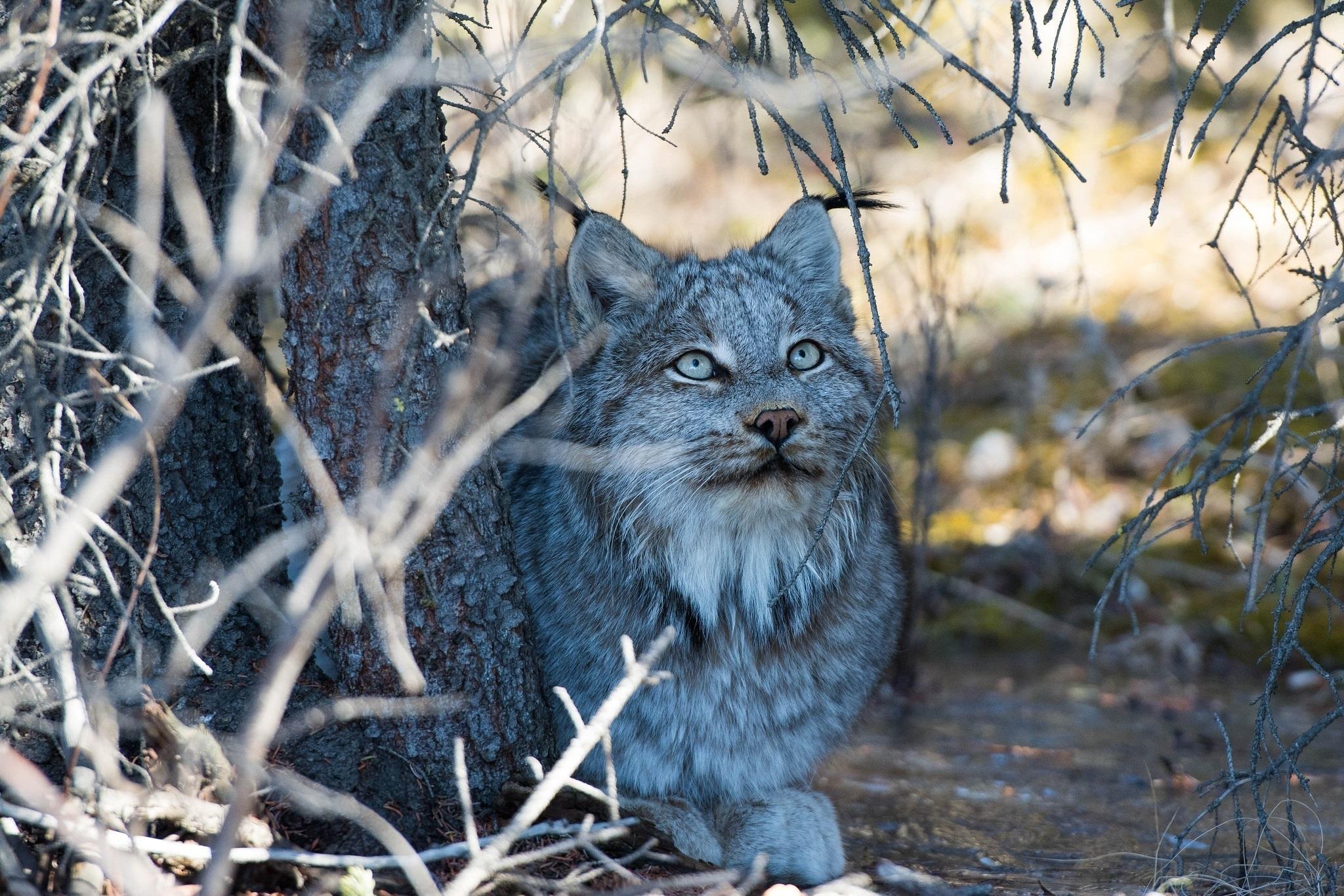 природа животные ветка деревья рысь nature animals branch trees lynx  № 559997 загрузить