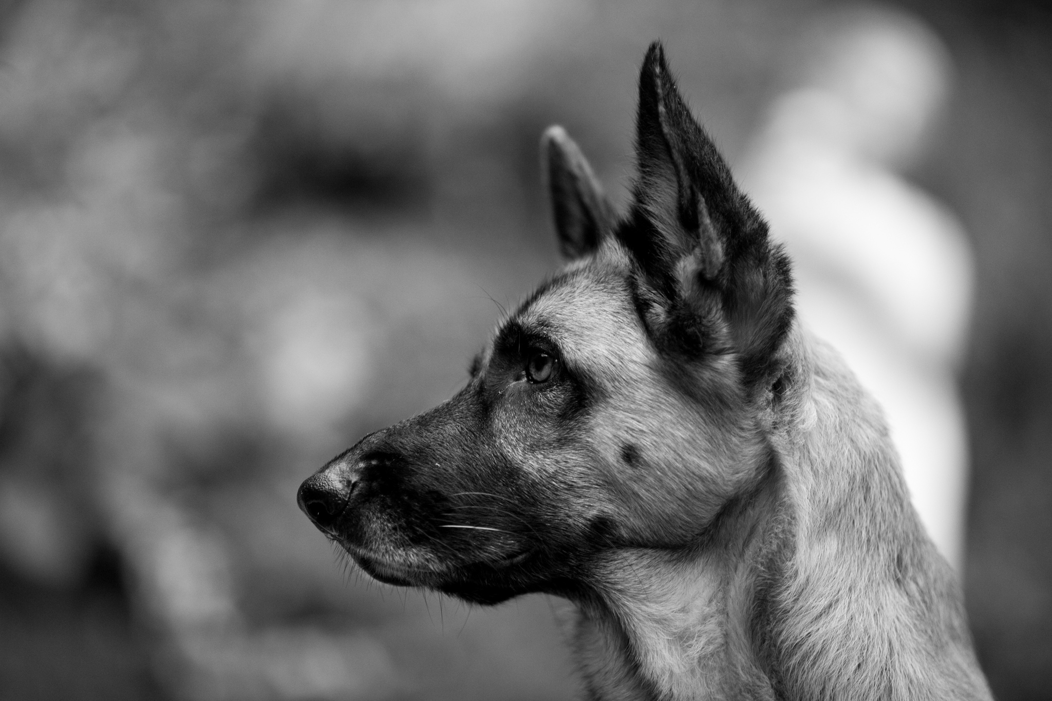 dog wallpaper hd black and white