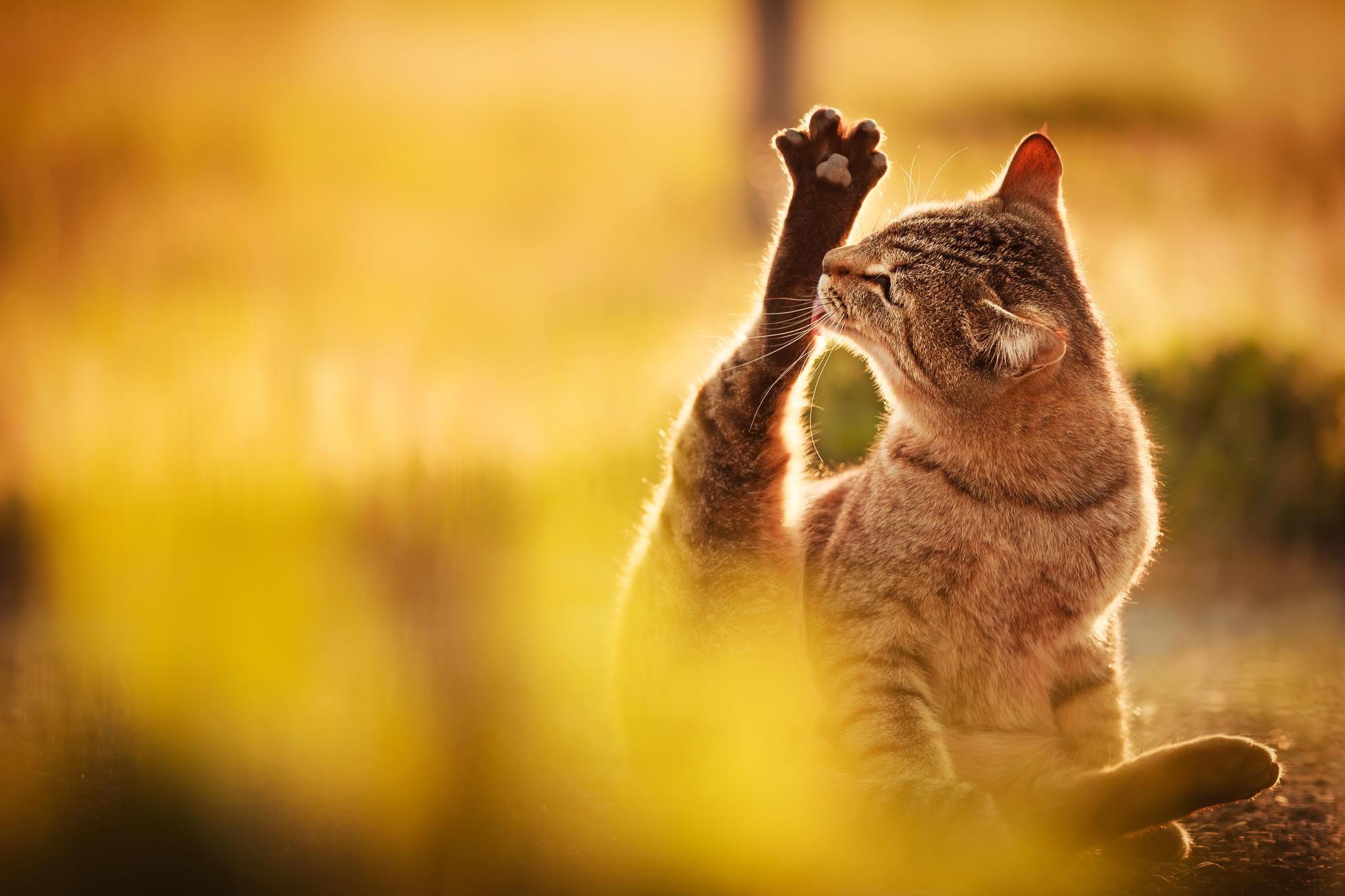Облизывающийся кот  № 3088284 загрузить