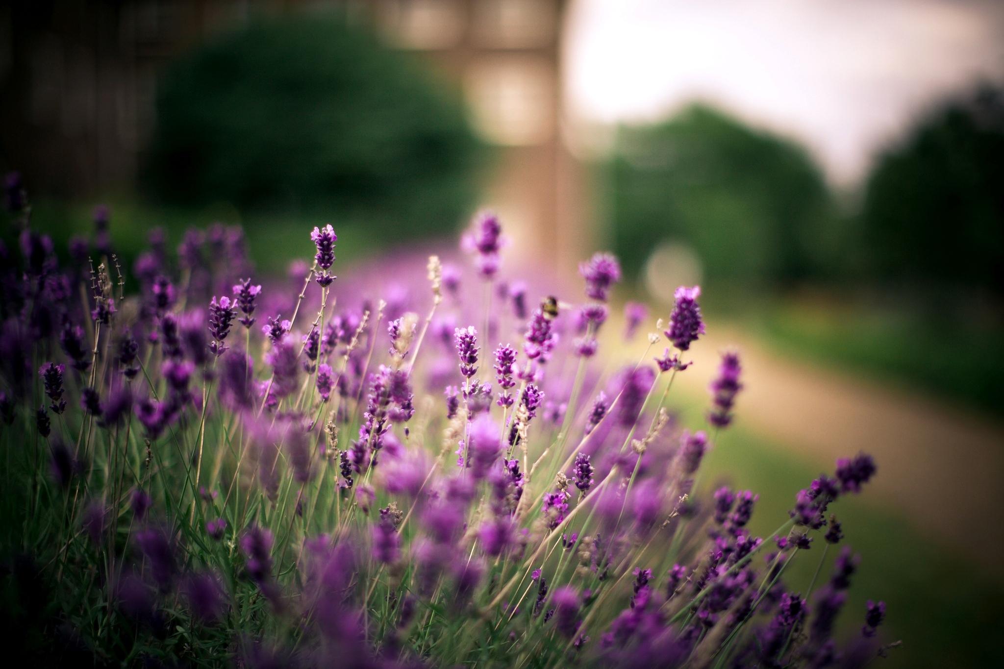 Цветы природа лаванда  № 1352091 без смс
