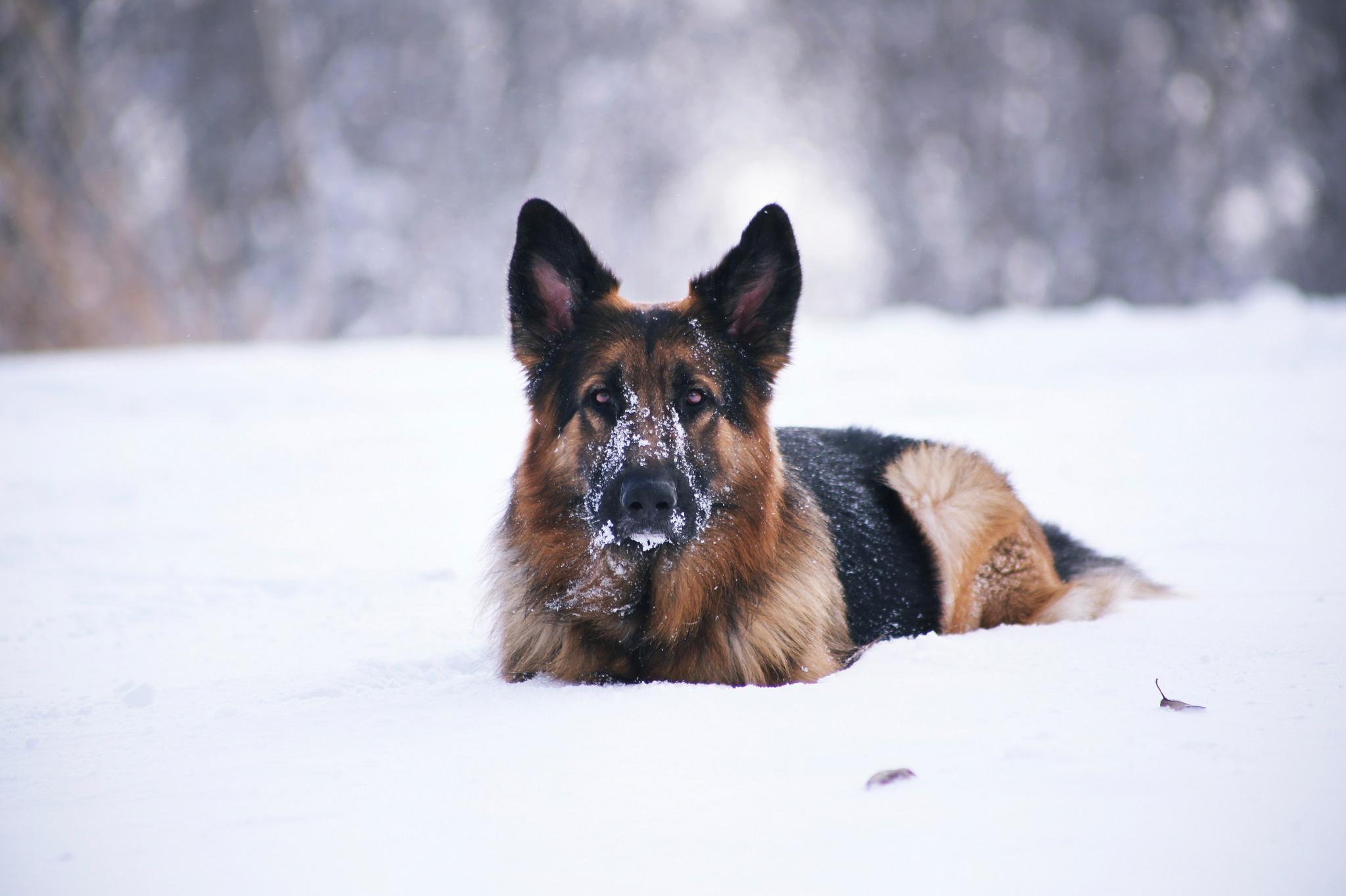 Овчарка в снегу  № 836461 бесплатно
