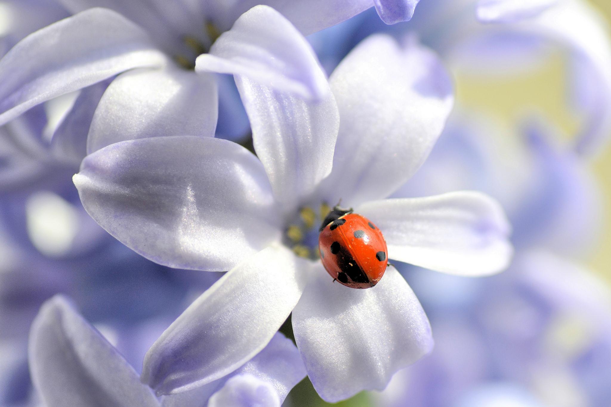 природа макро цветы божья коровка  № 2891813 бесплатно