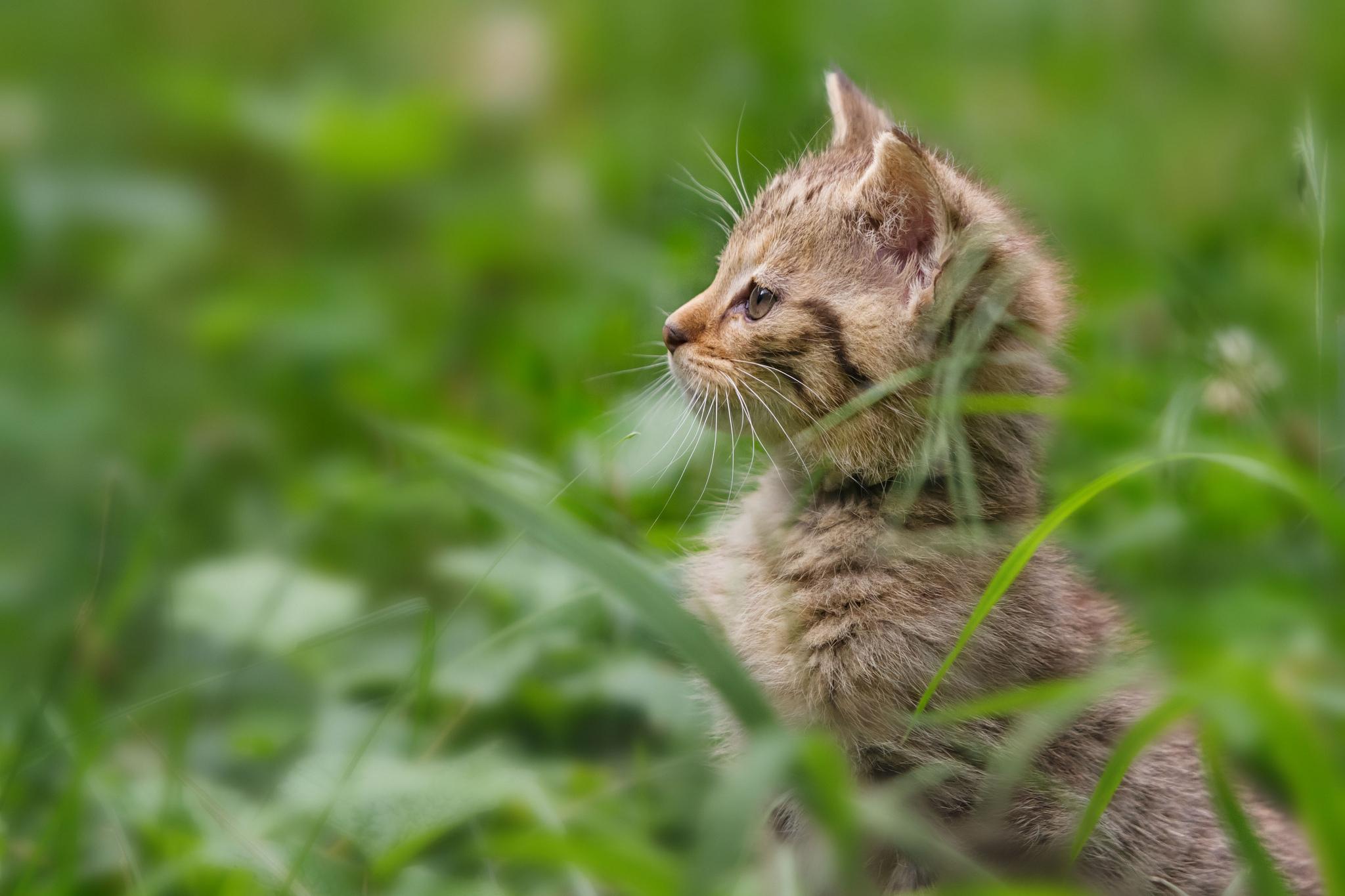 cats 101 bengal