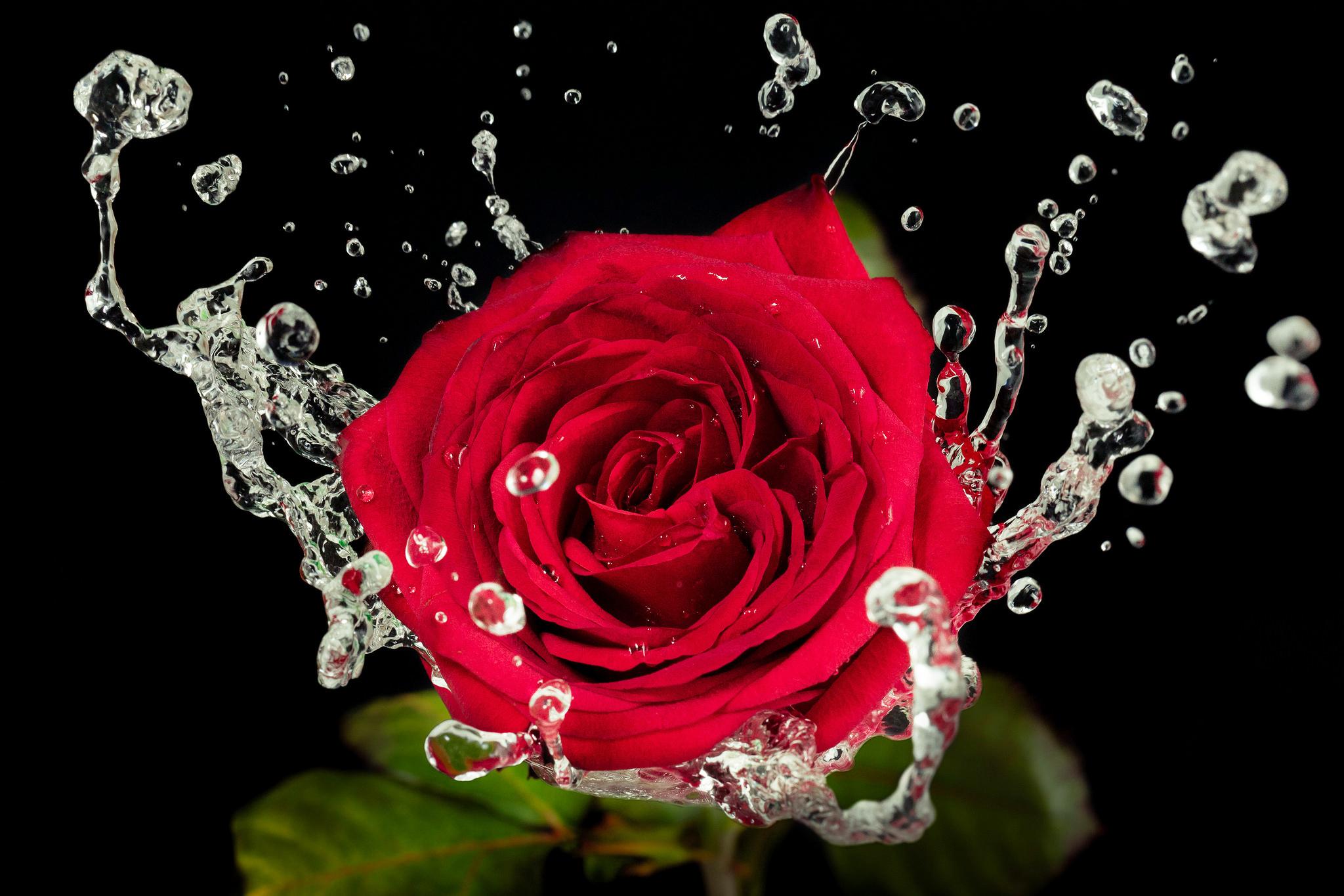 роза сердце капли  № 1395850 без смс