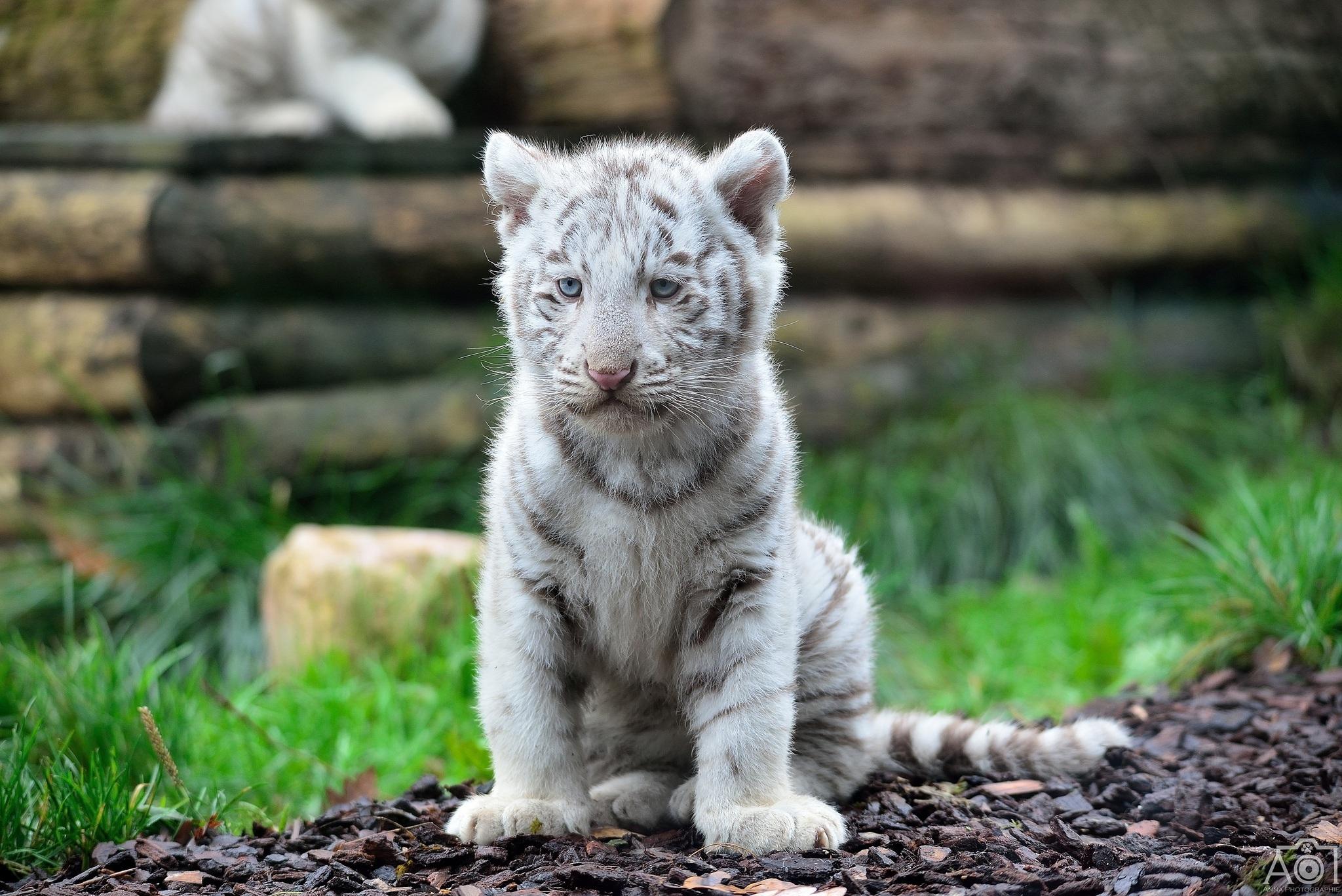 baby white tiger - HD2048×1367