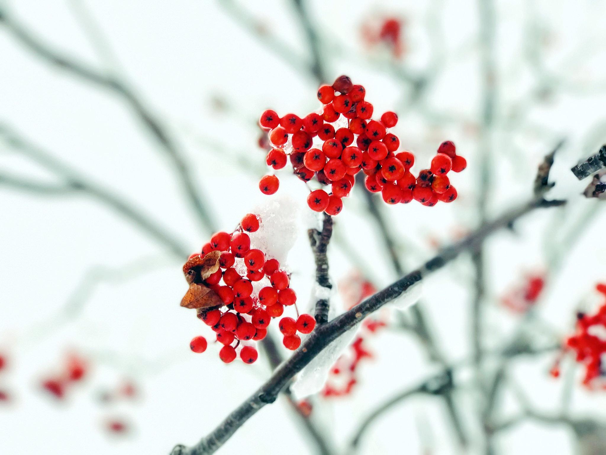 природа мороз рябина зима ветки еда ягоды  № 457076 бесплатно