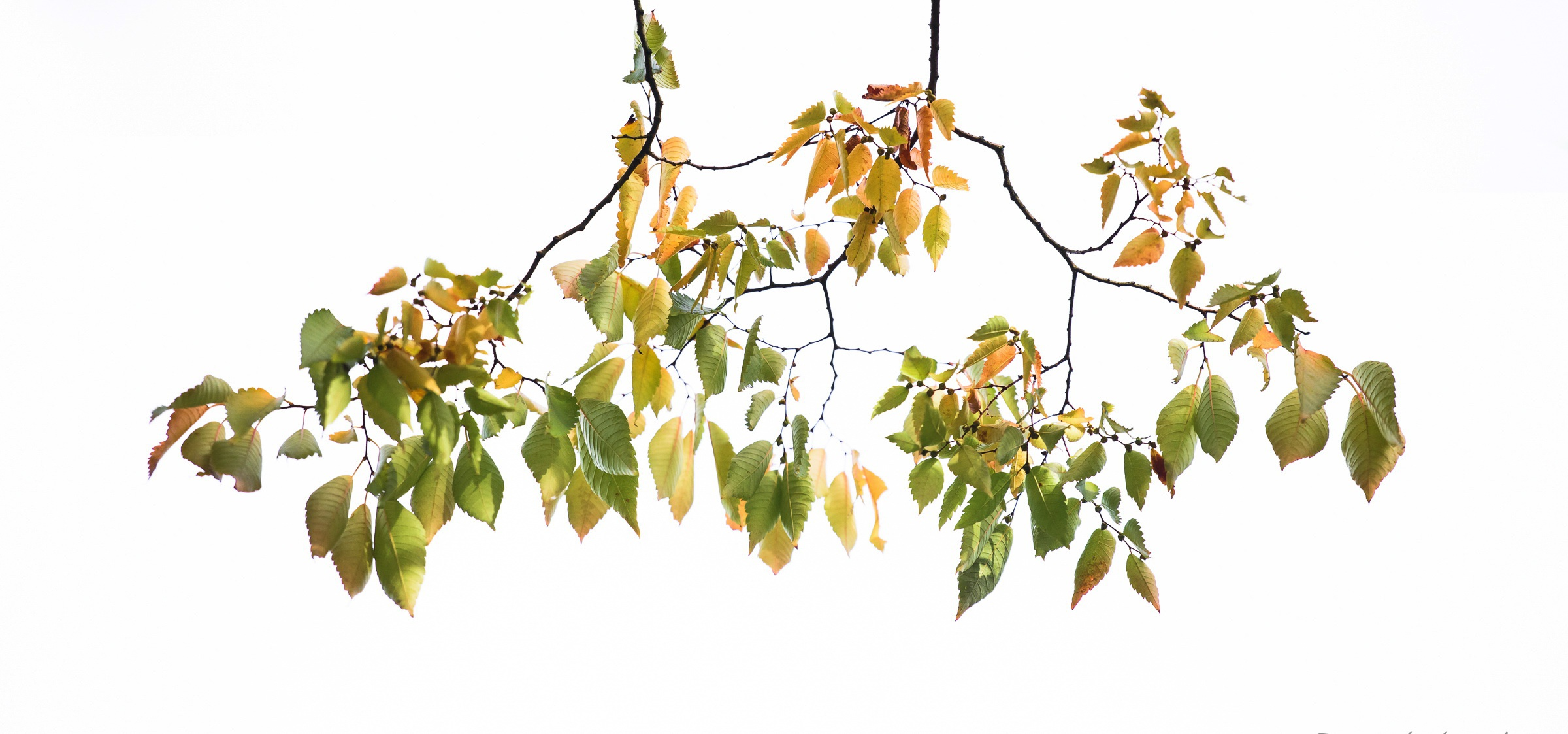 ветка с листьями  № 3792436 без смс