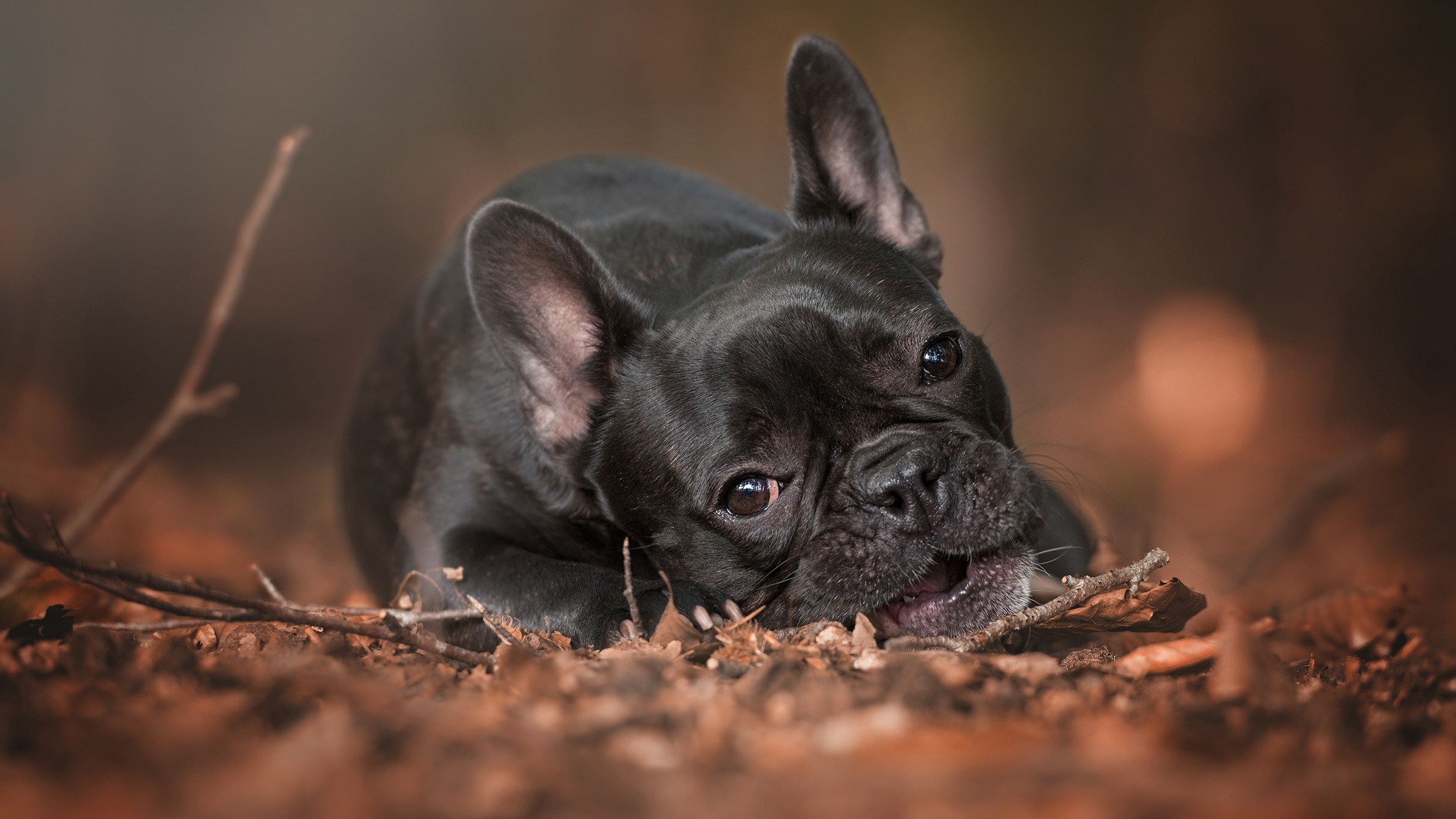 Собака животное французский бульдог  № 2228271 без смс