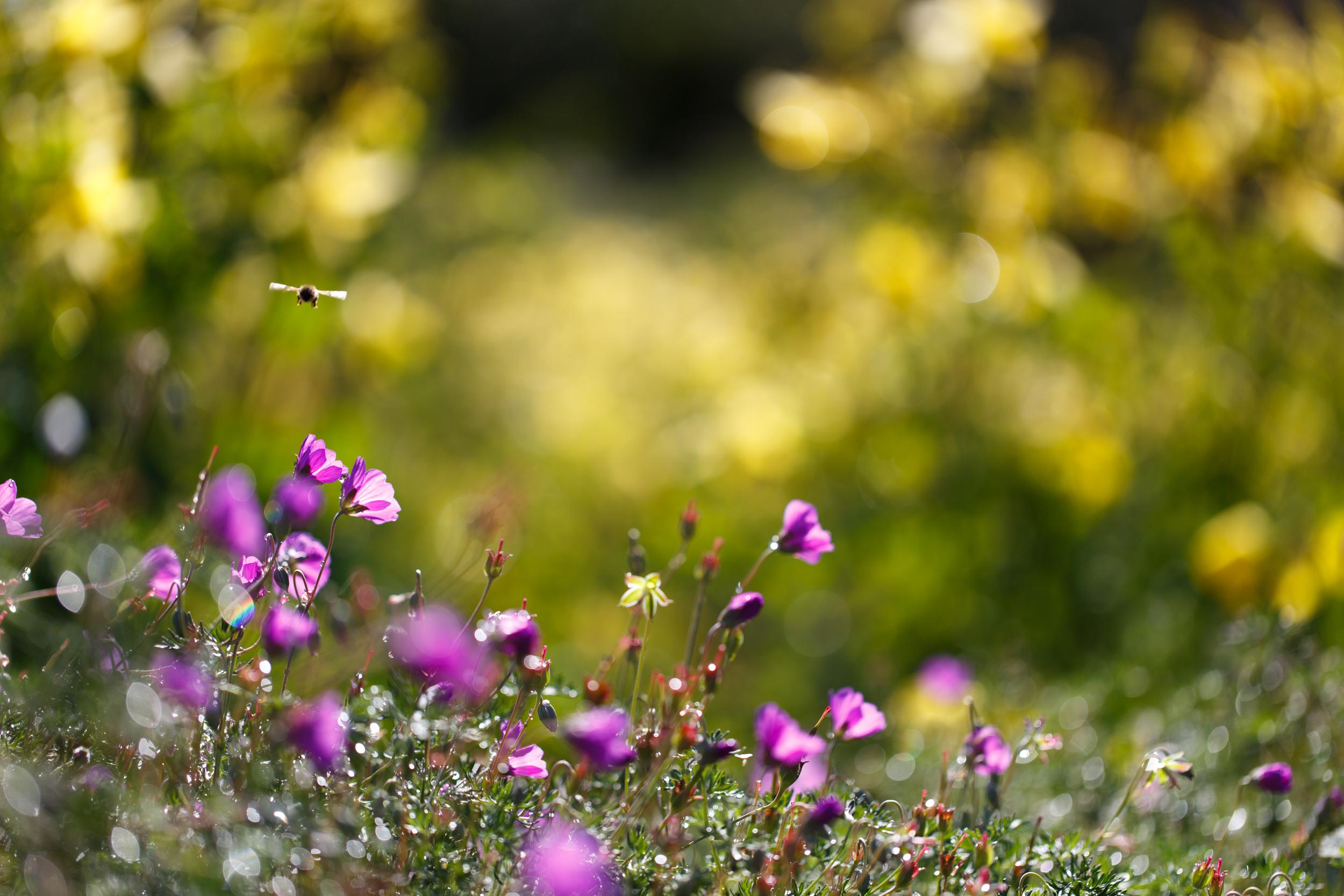 шмель,ирис,цветок,лето  № 529615  скачать