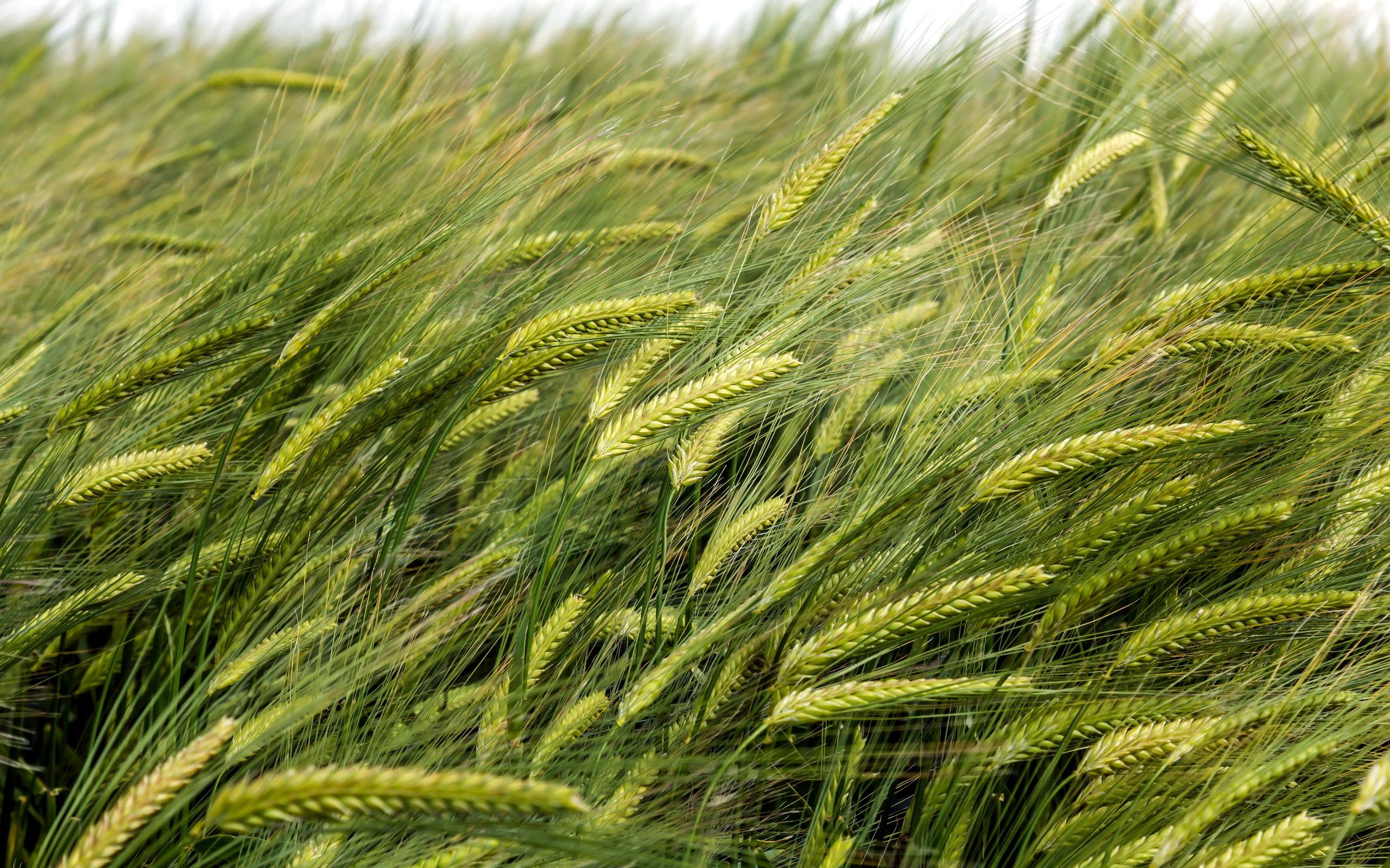 Зеленая пшеница  № 2559196 бесплатно