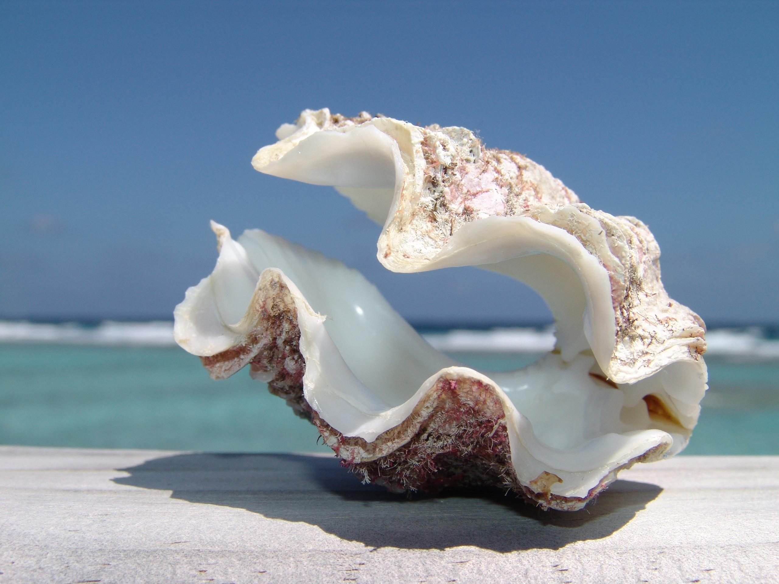 ракушка shell  № 248801 бесплатно