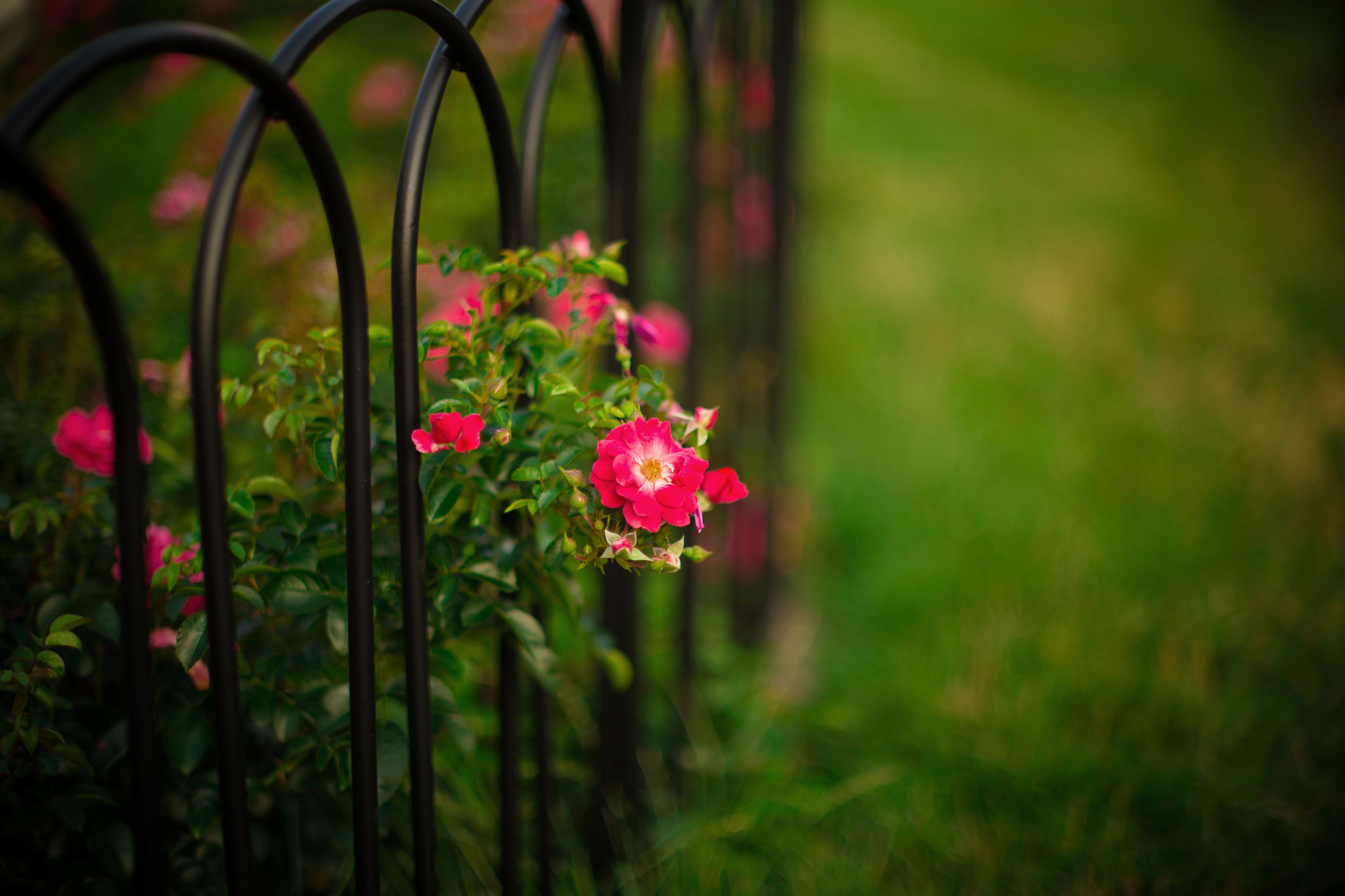 Розы куст забор  № 3015288 загрузить