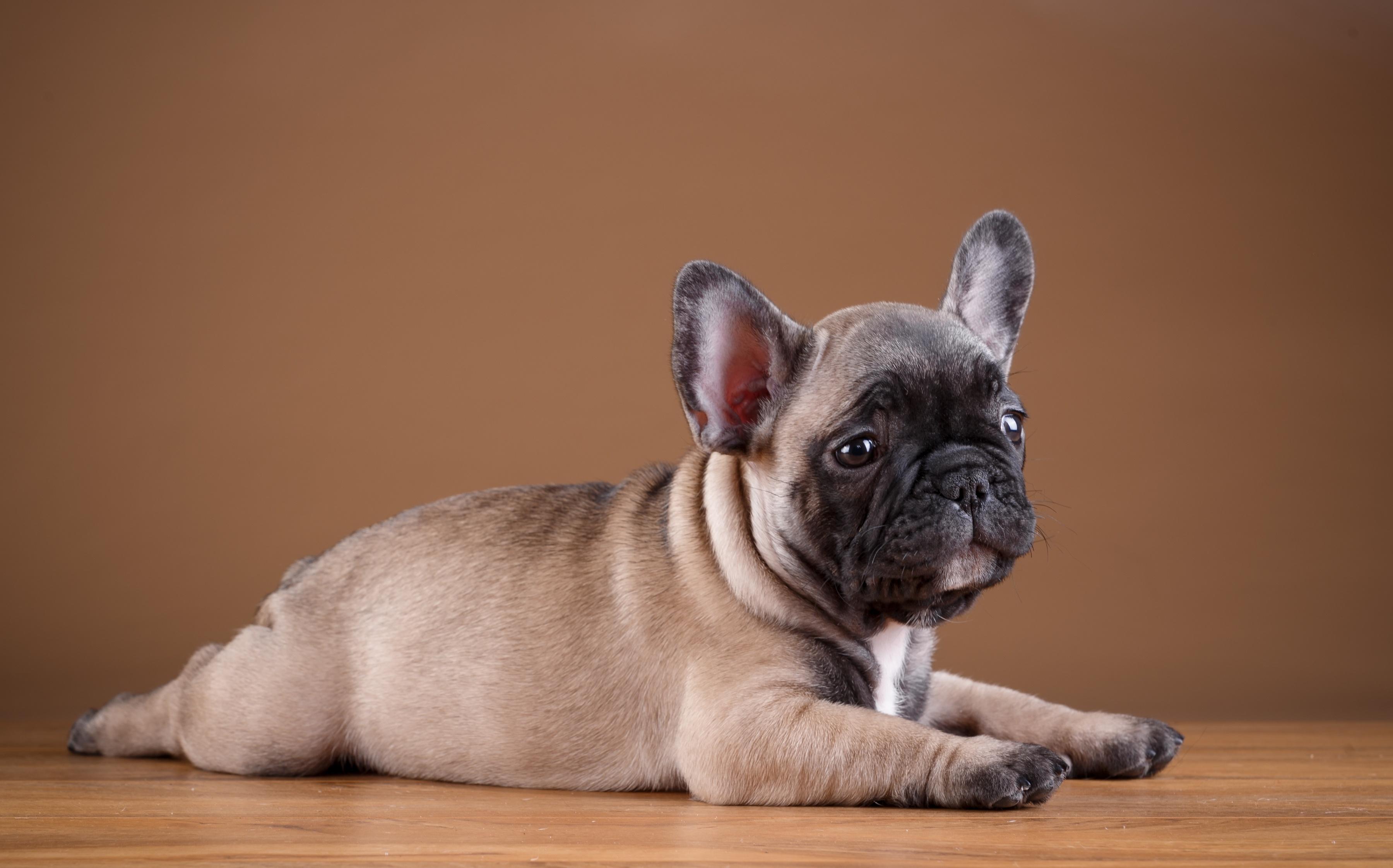 Собака животное французский бульдог  № 2228211 загрузить
