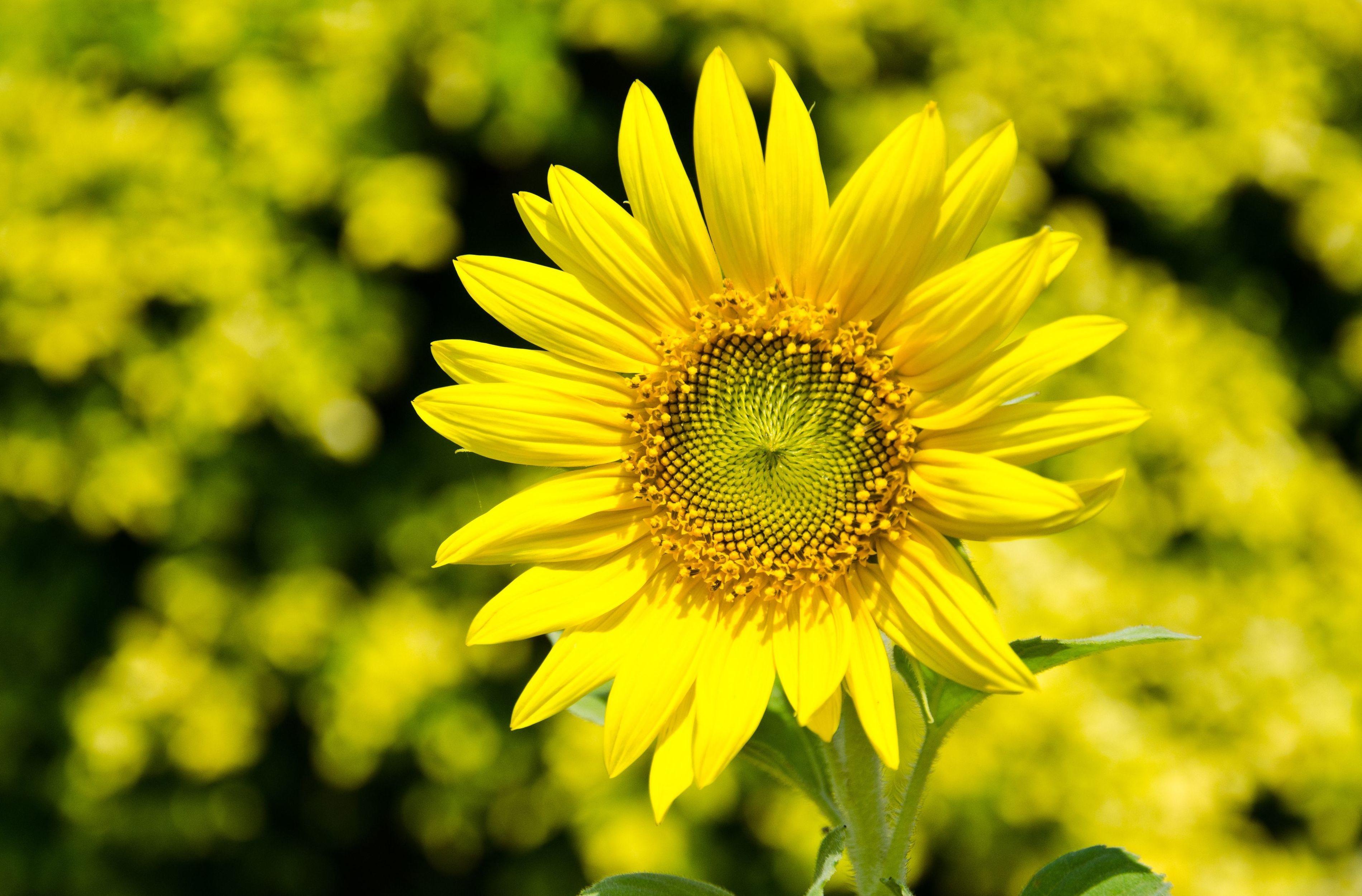 Желтые ромашки цветы желтые цветы размытость  № 3831087 без смс