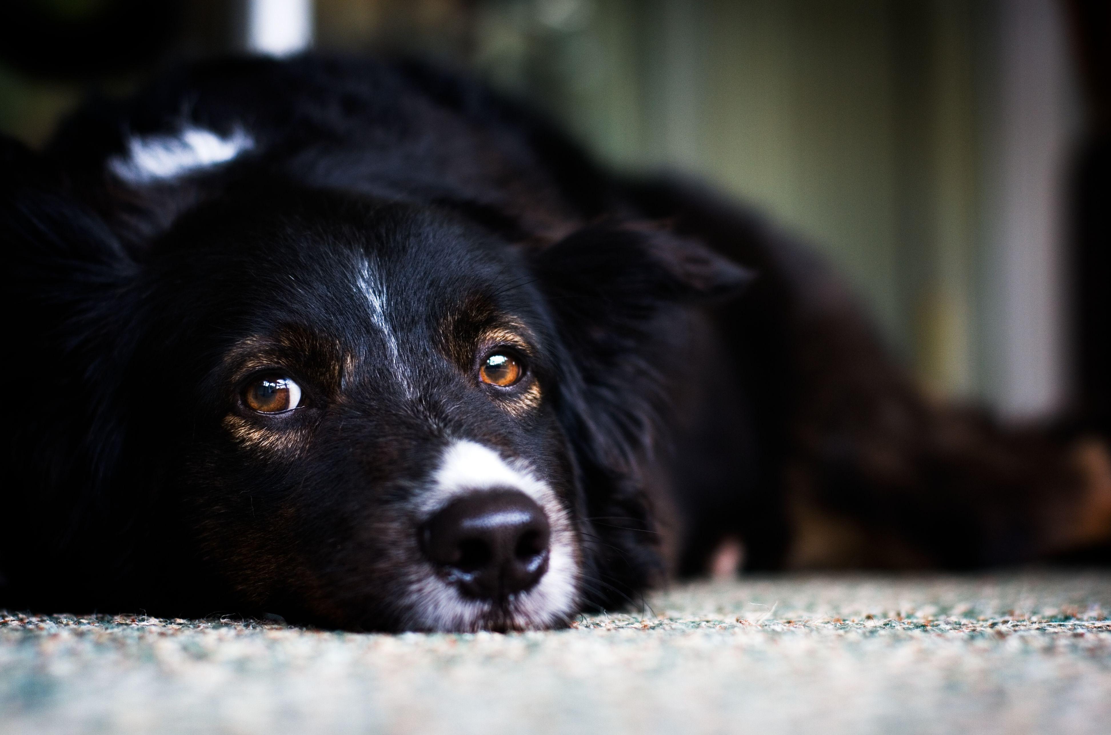 Пёс черный взгляд  № 1127402 без смс