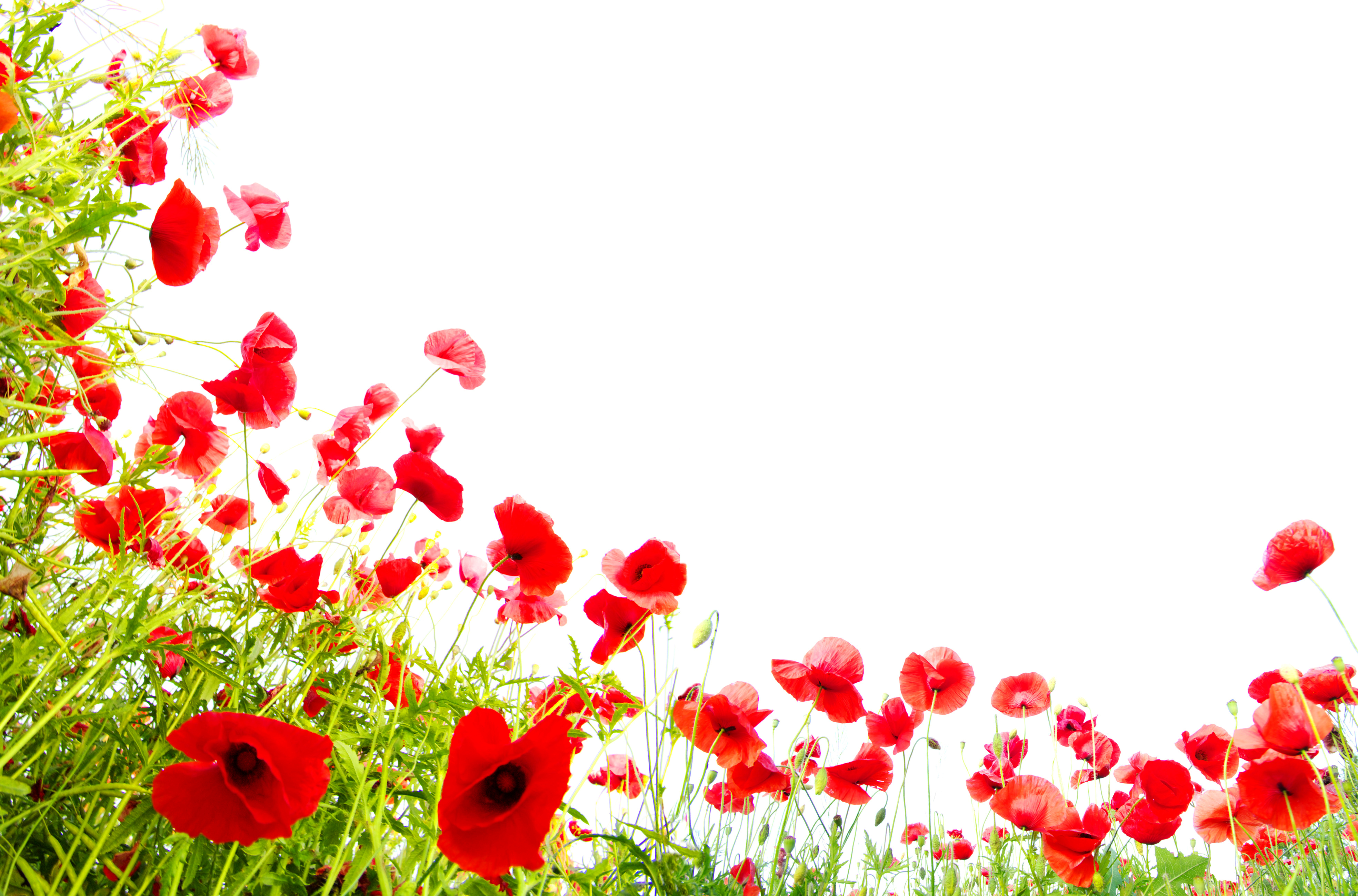poppy red background -#main
