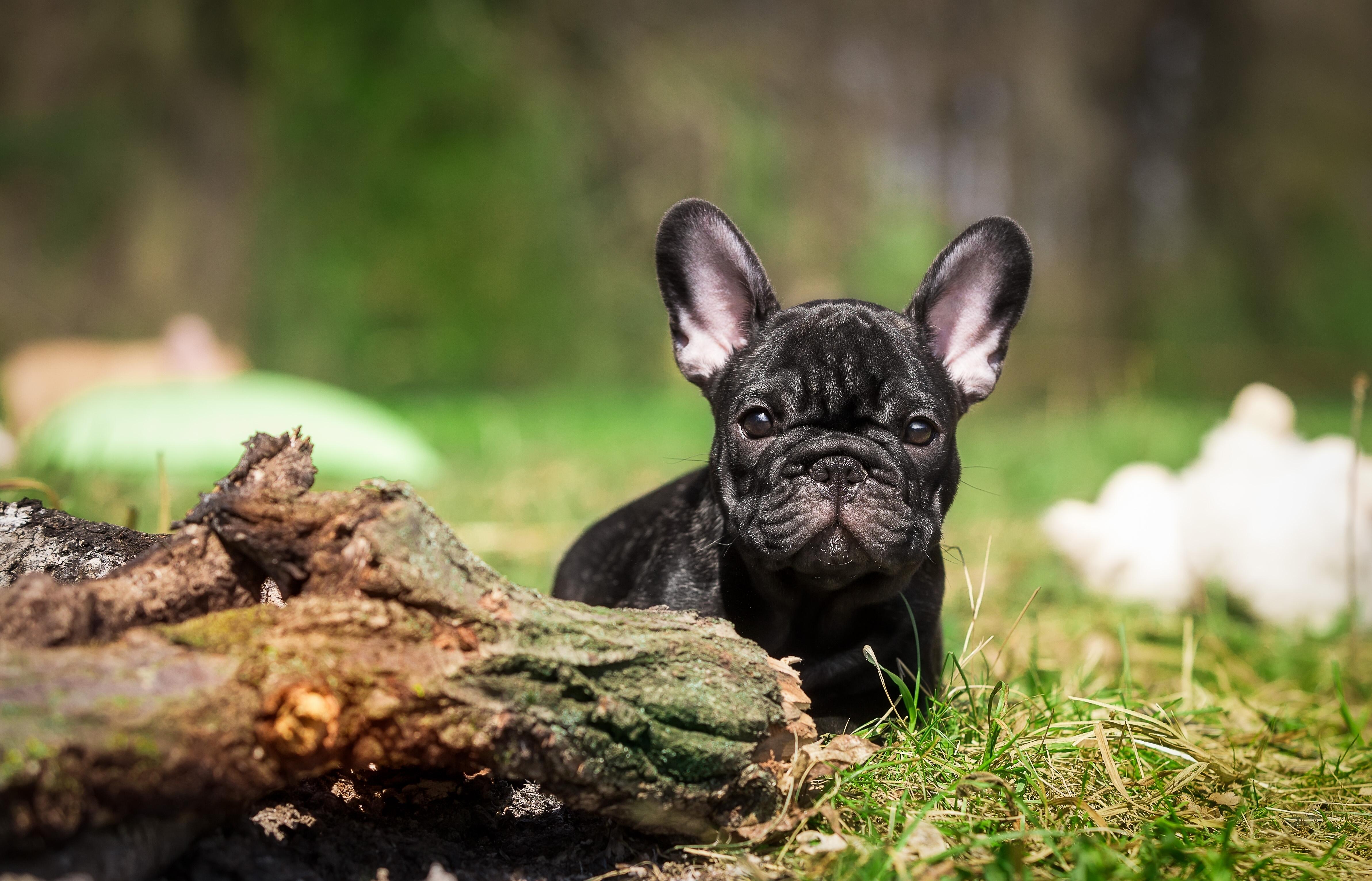 Собака животное французский бульдог  № 2228219 без смс