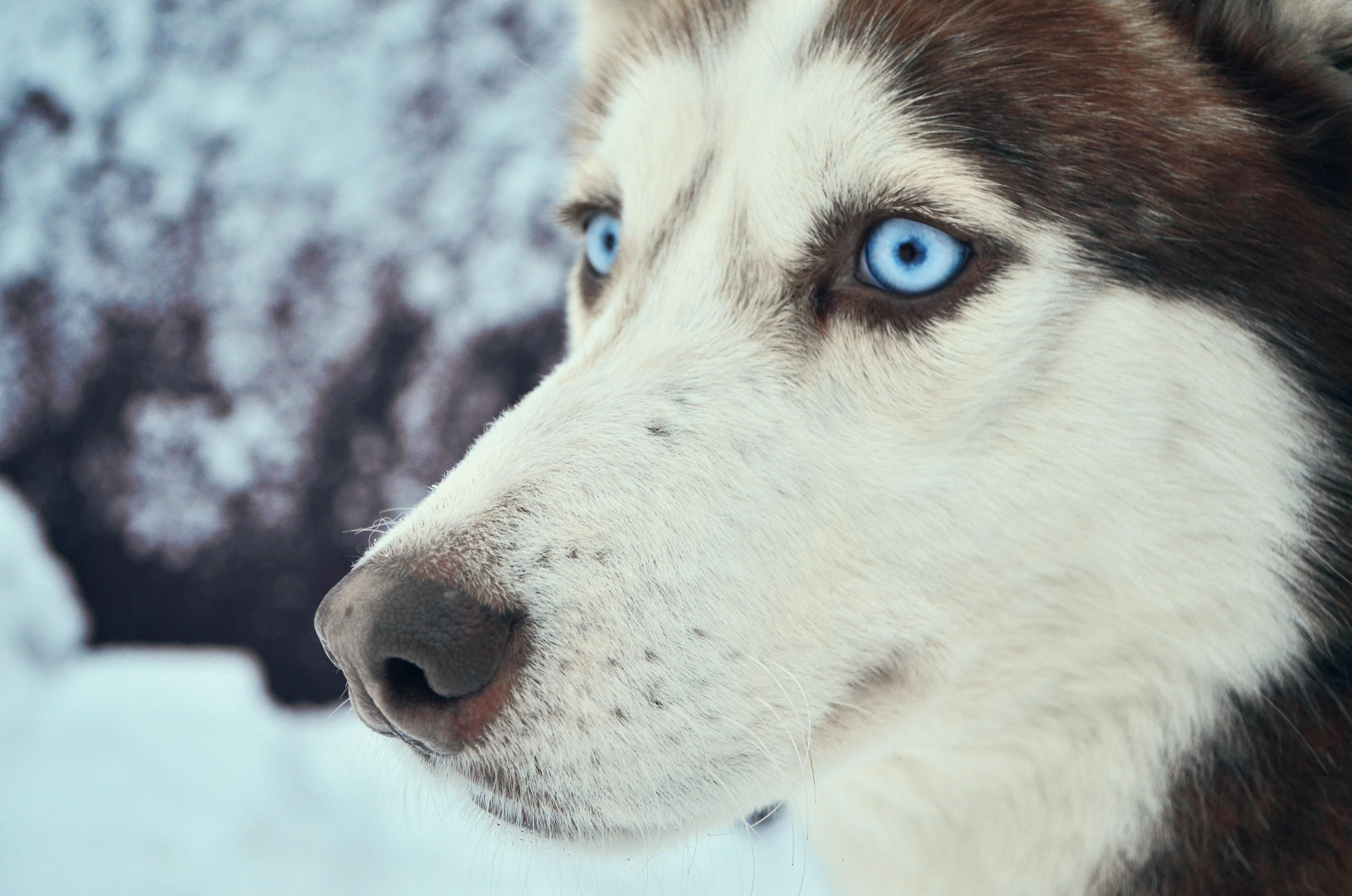 природа животное собака морда хаски  № 3886648  скачать
