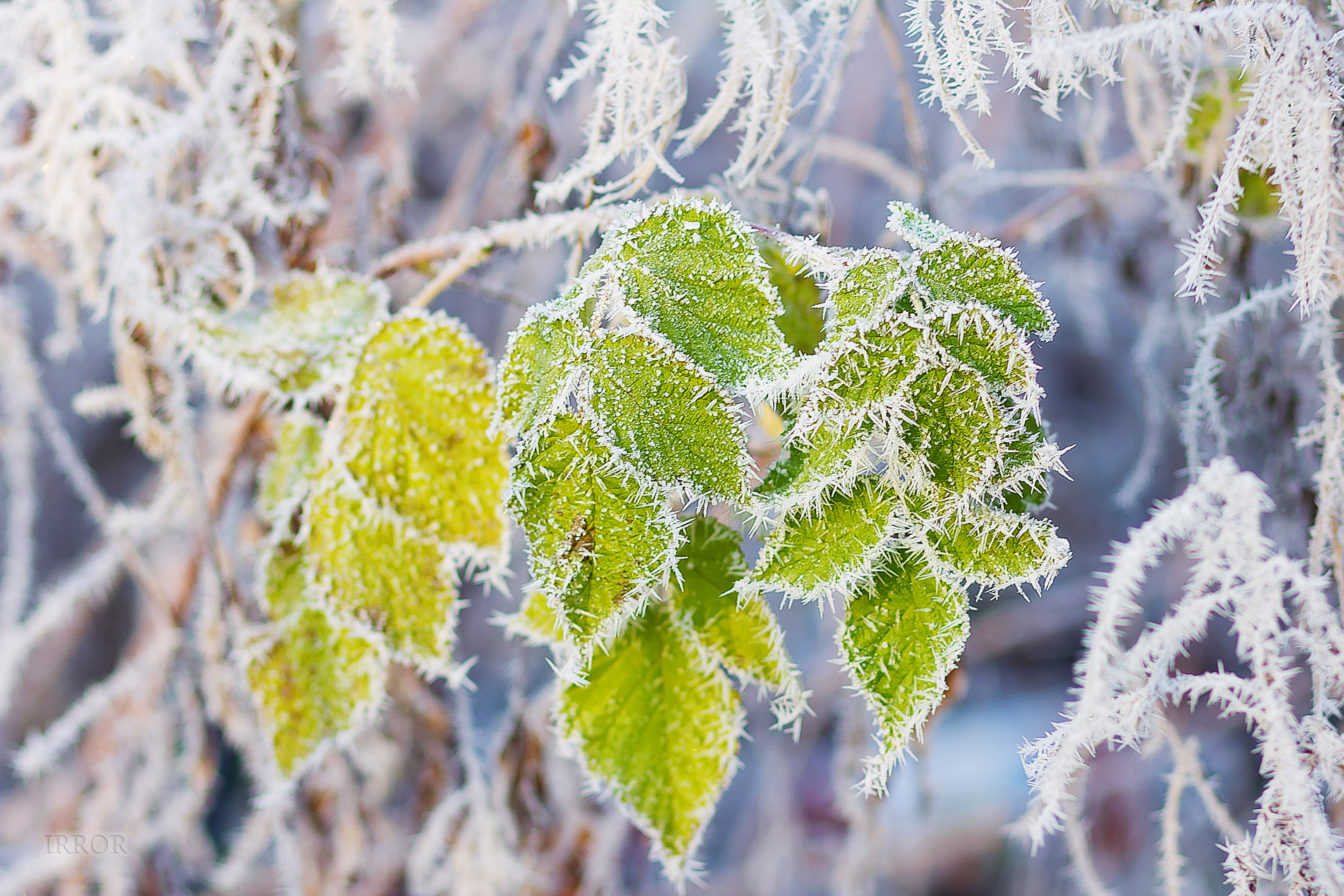 природа ветка снег  № 3089991 бесплатно