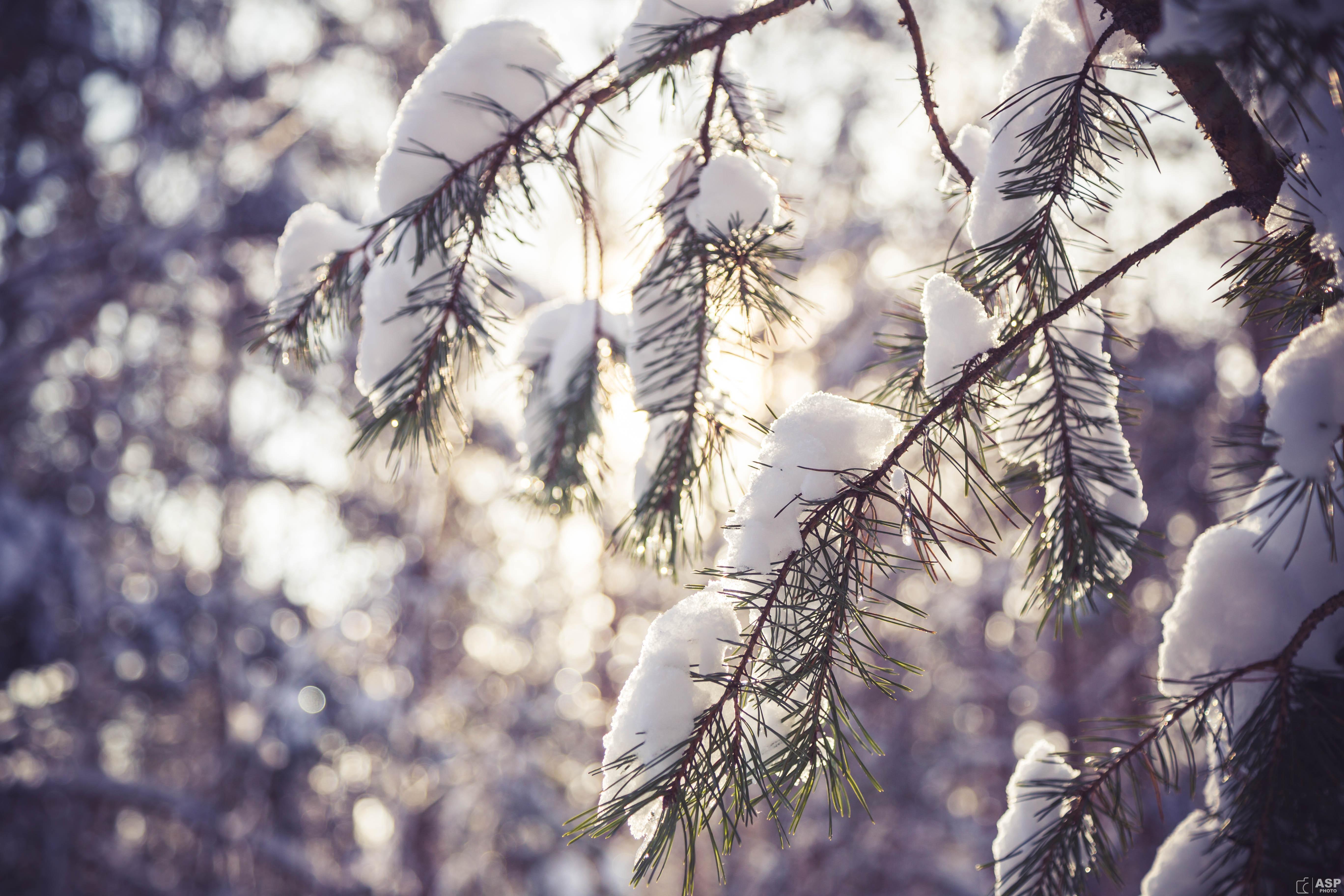 снег ветви лес snow branches forest  № 442817  скачать