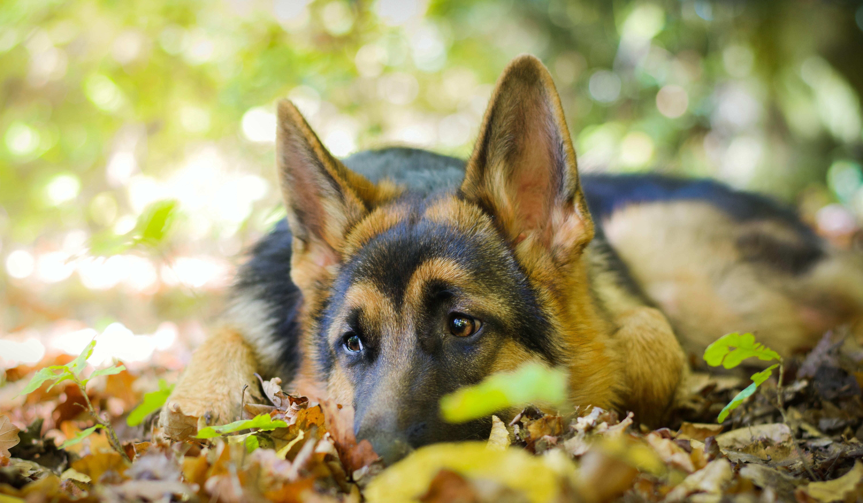 Овчарка собака пес  № 1980951 бесплатно