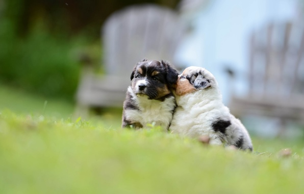 Picture dogs, puppies, kids, bokeh, Australian shepherd, Aussie