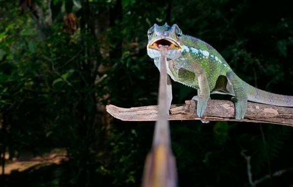 Picture language, chameleon, branch