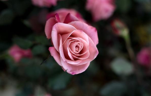 Picture flower, macro, flowers, pink, rose, Bush, beauty, petals, blur, Bud