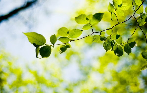 Picture greens, leaves, tree, leaf, plant, plants, leaves, leaf, widescreen Wallpaper, leaves, the Wallpapers, hd Wallpapers, …