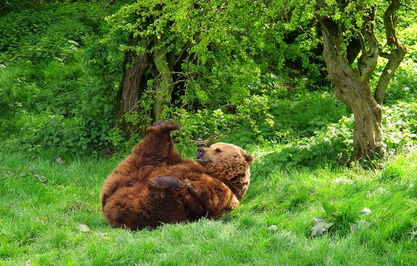 Picture forest, grass, animal, bear, beast, lying