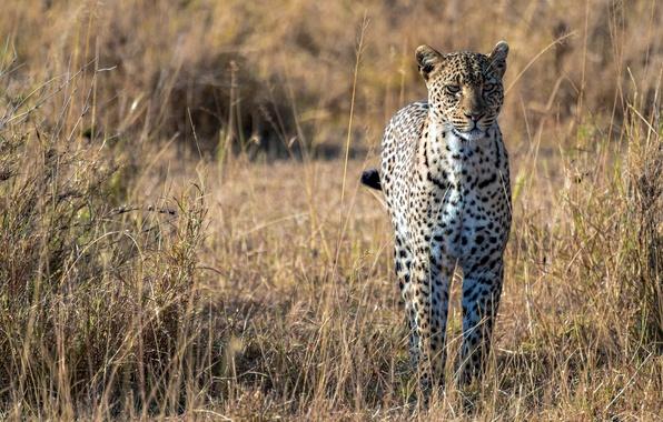 Picture predator, leopard, Savannah, Africa, big cat