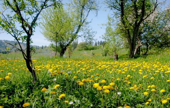 Picture grass, trees, flowers, nature, yellow, meadow, dandelions