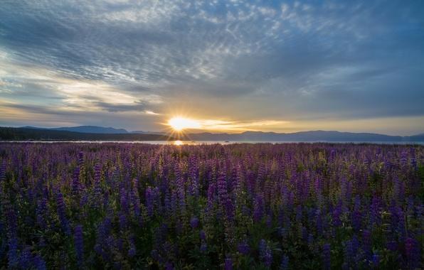 Picture flowers, lake, sunrise, dawn, meadow, CA, Nevada, California, Nevada, Lake Tahoe, lupins, lake Tahoe