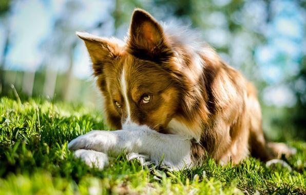Picture grass, look, dog, lies, Border Collie, Border collie