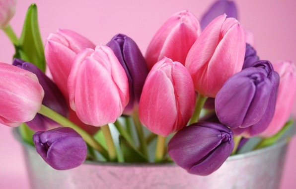 Picture purple, flowers, pink, tulips, buds