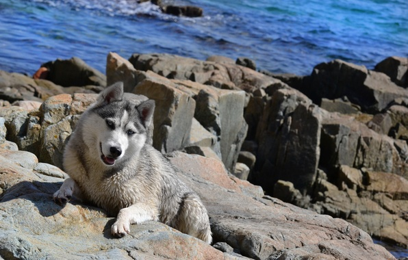 Picture sea, summer, Wallpaper, Dog, husky, husky, the dog of the sea
