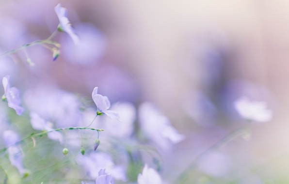 Picture summer, macro, flowers, blue, tenderness, spring, blur, Len