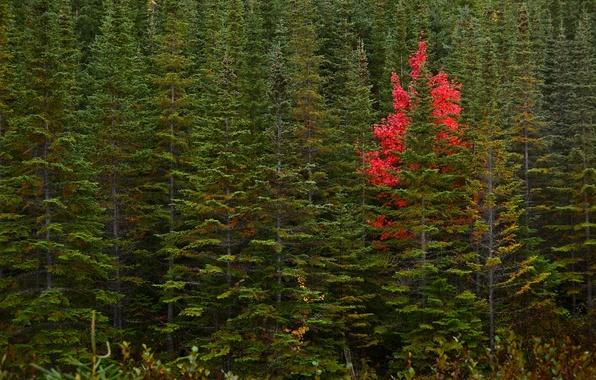 wallpaper canada trees newfoundland -#main