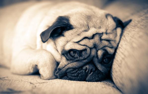 Picture sofa, dog, pug, lies
