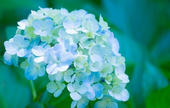 Picture petals, flowers, blue, hydrangea, splendor