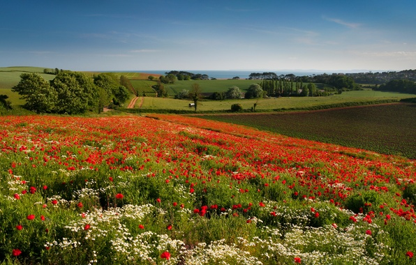 Picture trees, flowers, field, England, Maki, chamomile, meadow, England, Budleigh Salterton