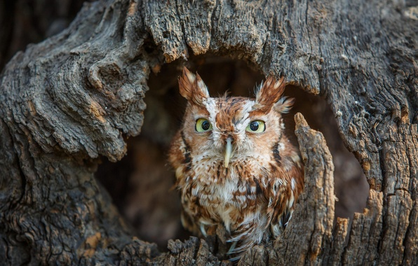 Picture forest, tree, owl, bird, chick, pine